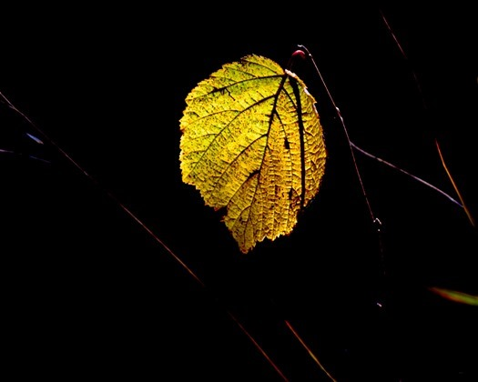 A single golden leaf remains on a shrub near the end of Autumn