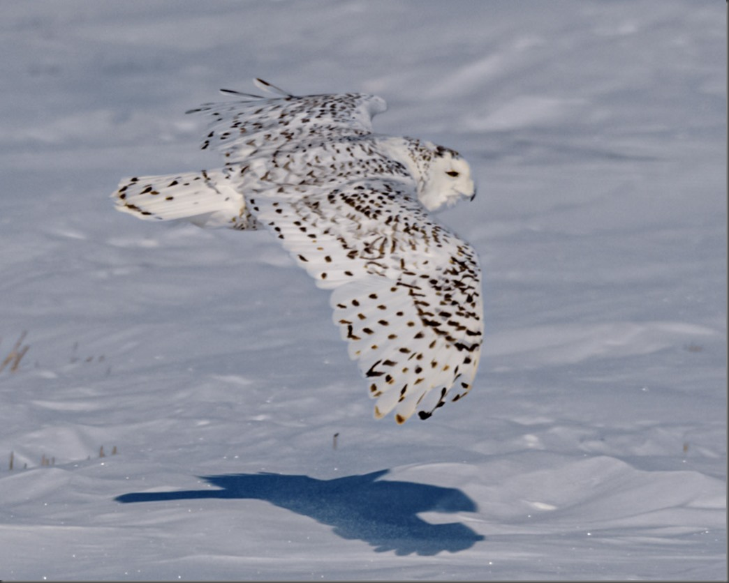 Snowy Owl casting a shadow as it flies past me
