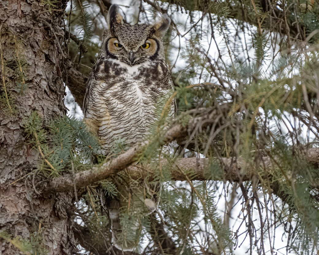Great Horned Owl Watching Closely