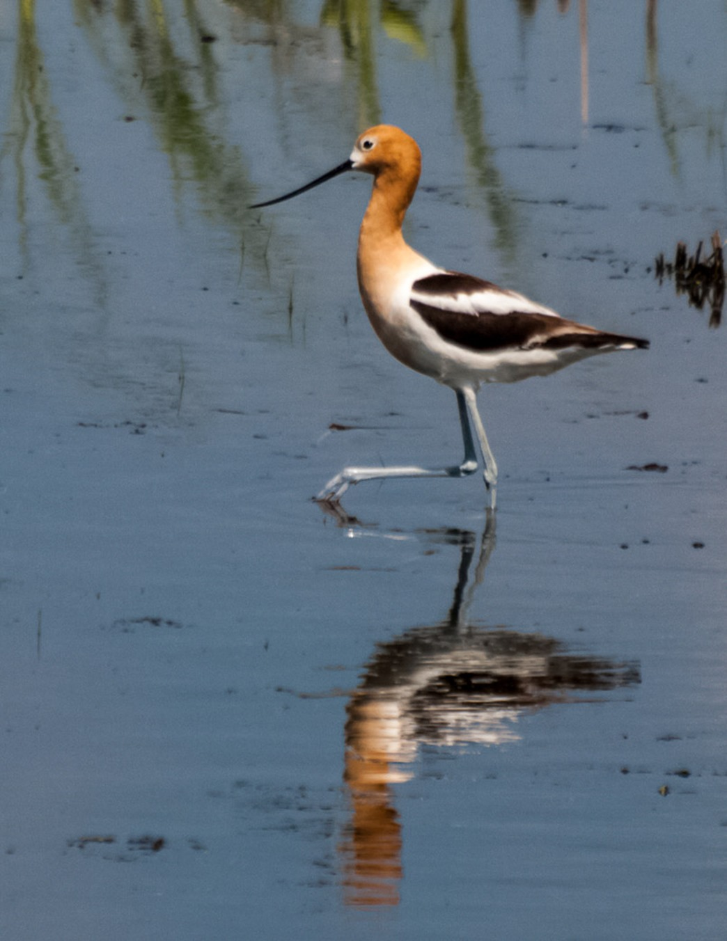 American Avocet looking for food along Whitewater Lake