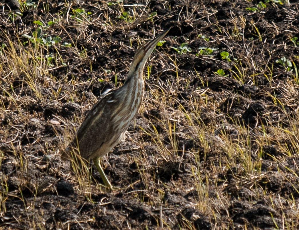 American Bittern trying to hide from me in a field next to Whitewater Lake