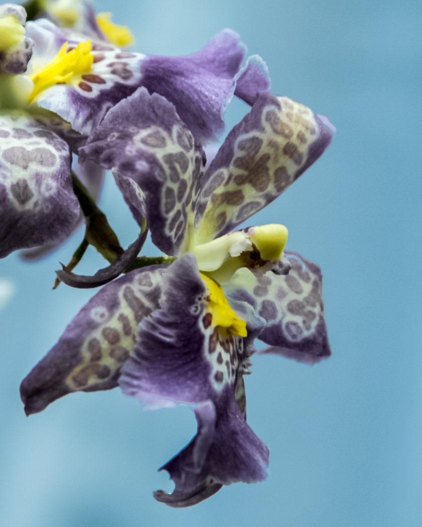 Oncidium Intergeric Hybrid Orchid from this past weekend Orchid Show at the Assiniboine Park Conservatory in Winnipeg