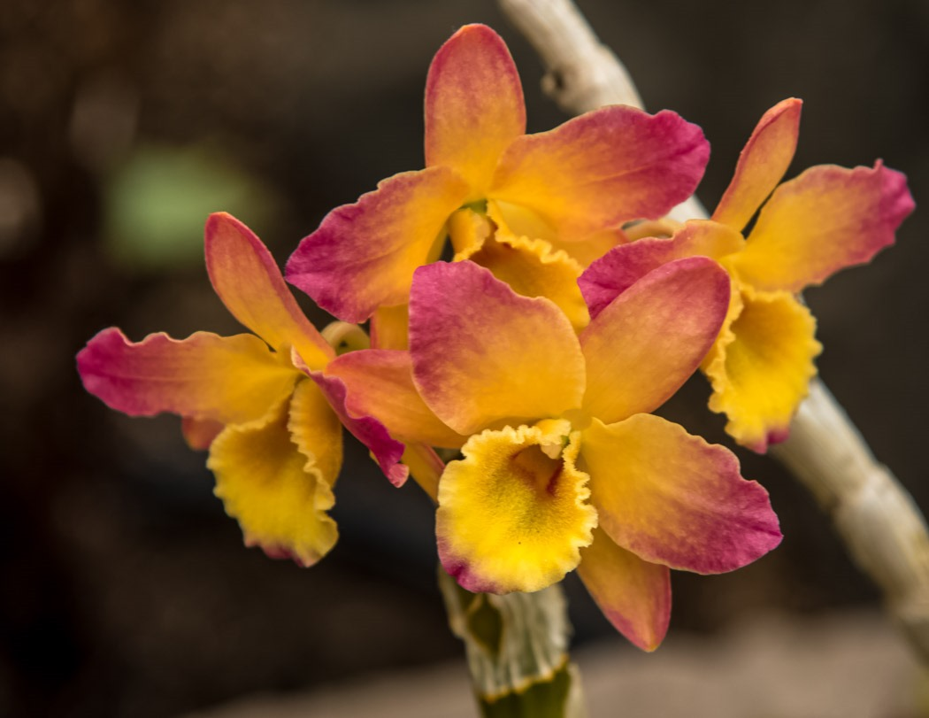 Dendrobium Oriental Smile Hybrid Orchid from this past weekend Orchid Show at the Assiniboine Park Conservatory in Winnipeg