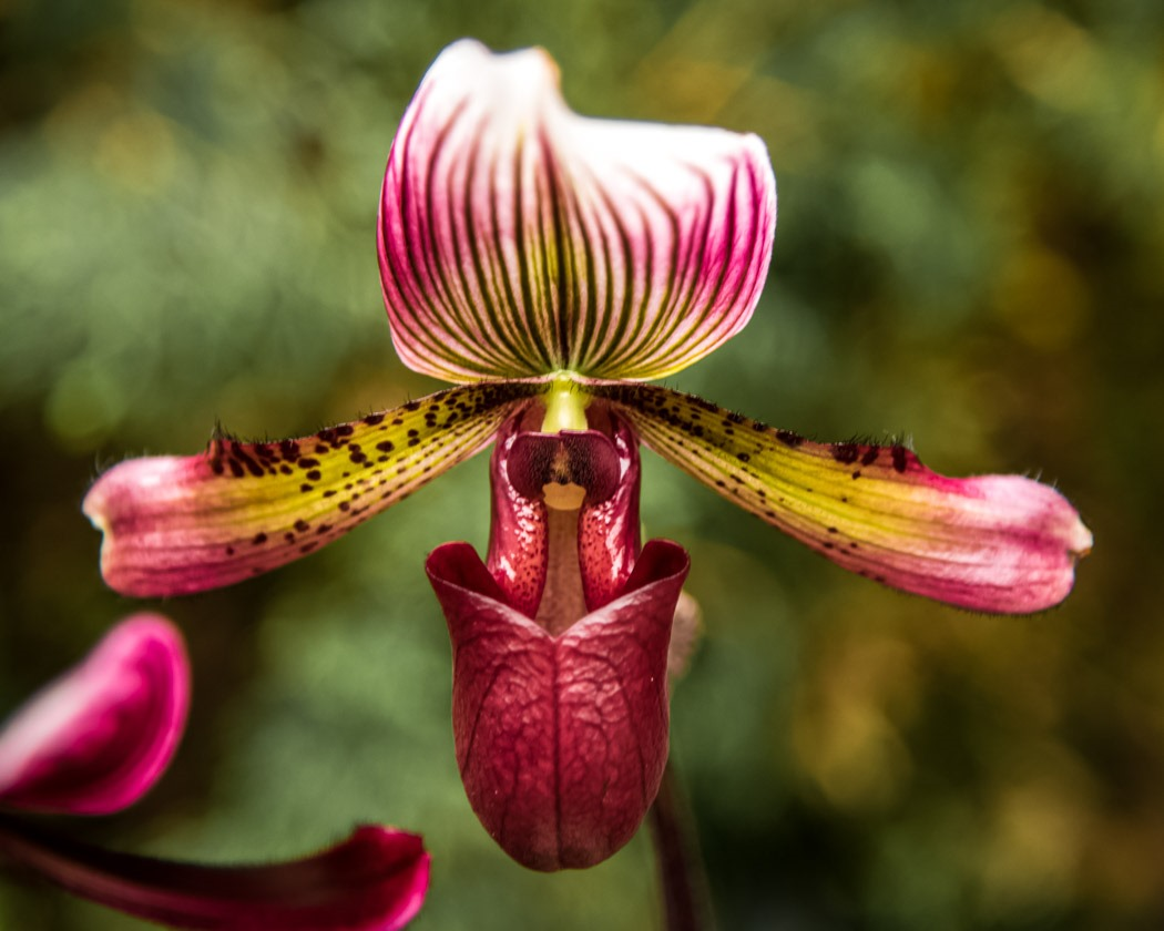 Paphiopedilum Hybrid Slipper Orchid from the Manitoba Orchid Show.