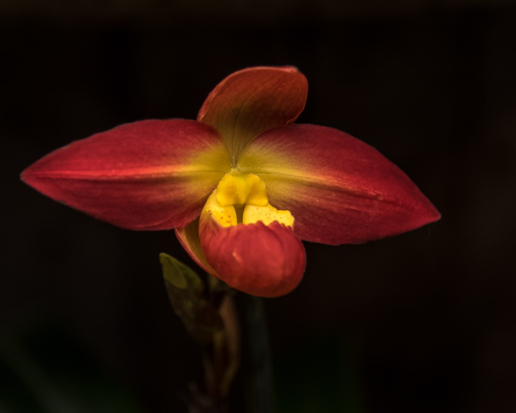 Phragmipedium Hybrid Orchid from the Manitoba Orchid Show today at the Assiniboine Park Conservatory in Winnipeg.