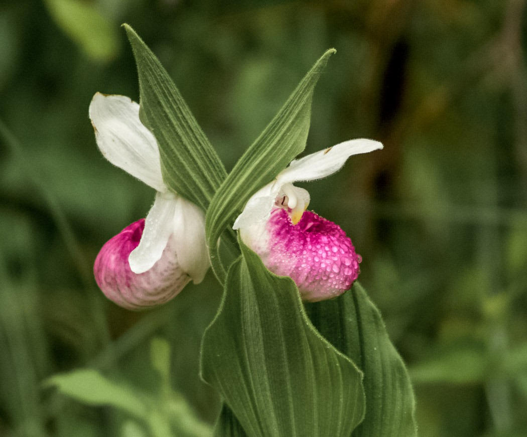 Back to Back - Two Showy Lady's Slipper growing back to back in the wild in Manitoba