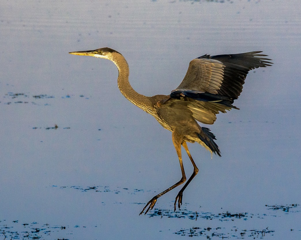 Great Blue Heron, landing on Grassy Lake, which is joined to Pelican Lake by a small channel at it's NE corner