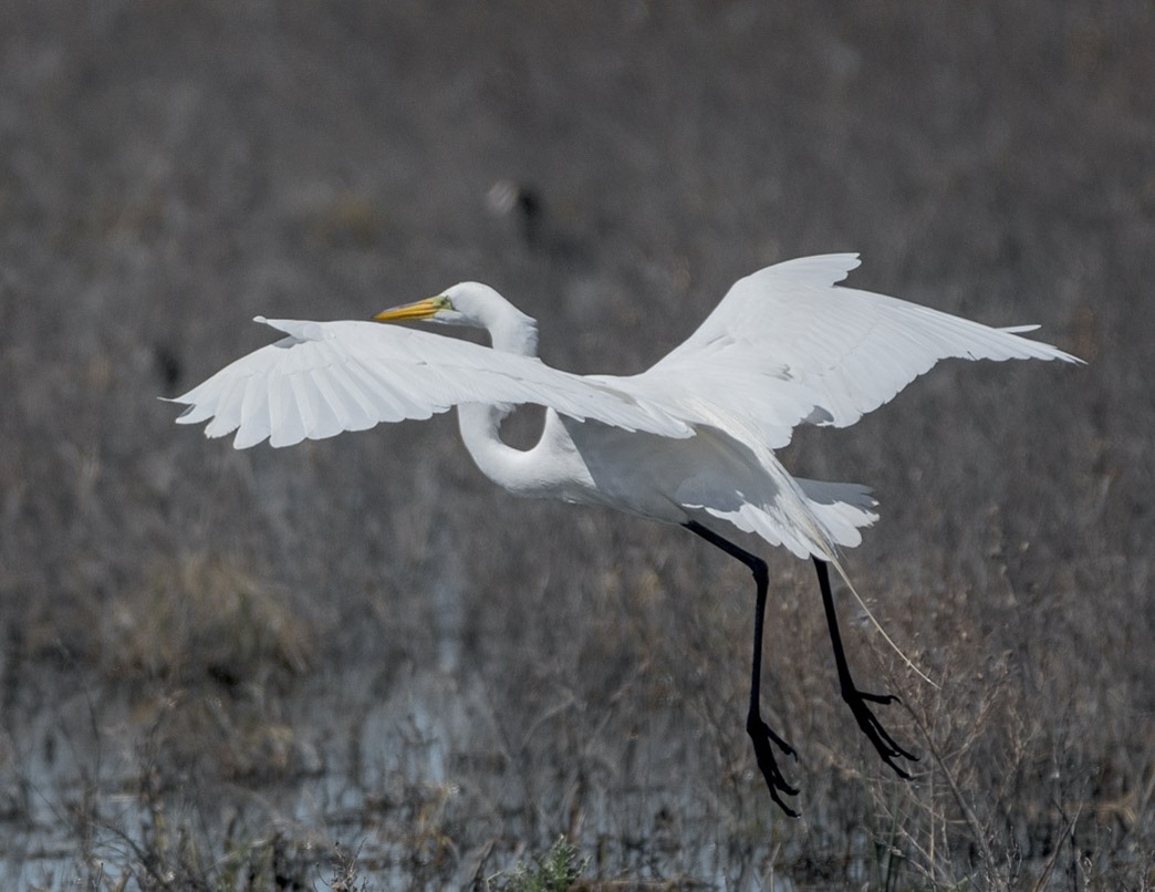 Great Egret in a low flight at Whitewater Lake