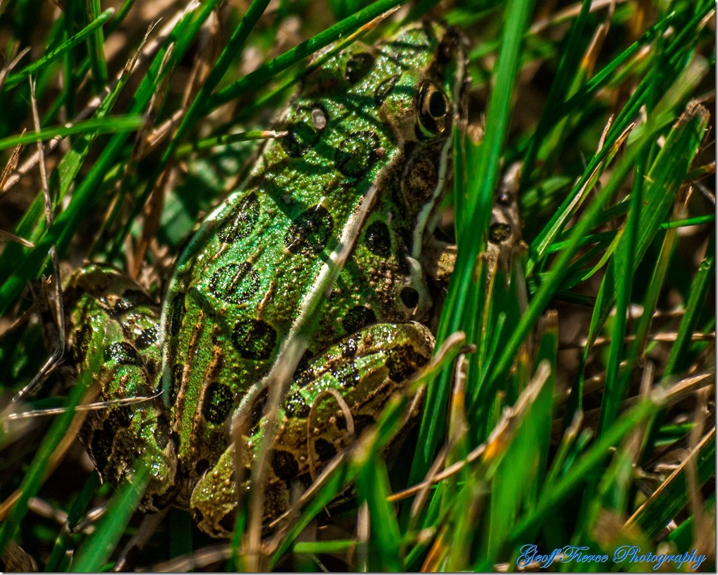 Leopard Frog, which is green with black spots and brown ridges, sitting in the grass