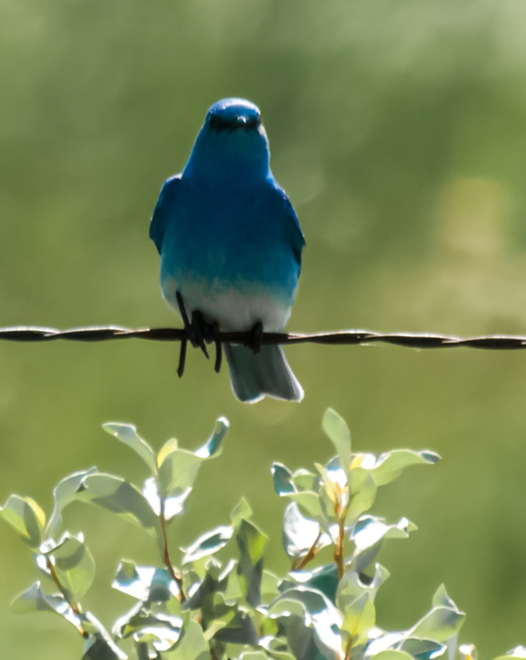 Mountain Bluebird found in the Southwestern Corner of Manitoba, west of the town of Melita