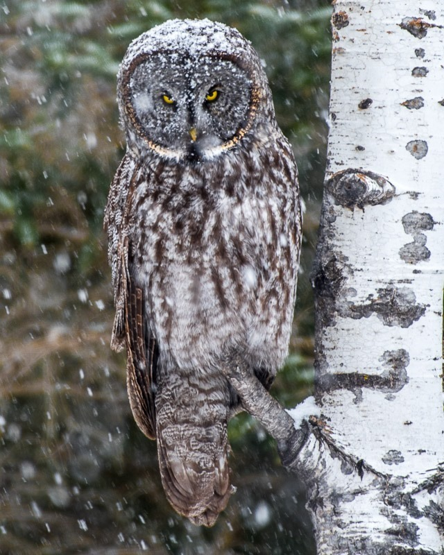 Great Gray Owl (Strix nebulosa) with a Cap of White.