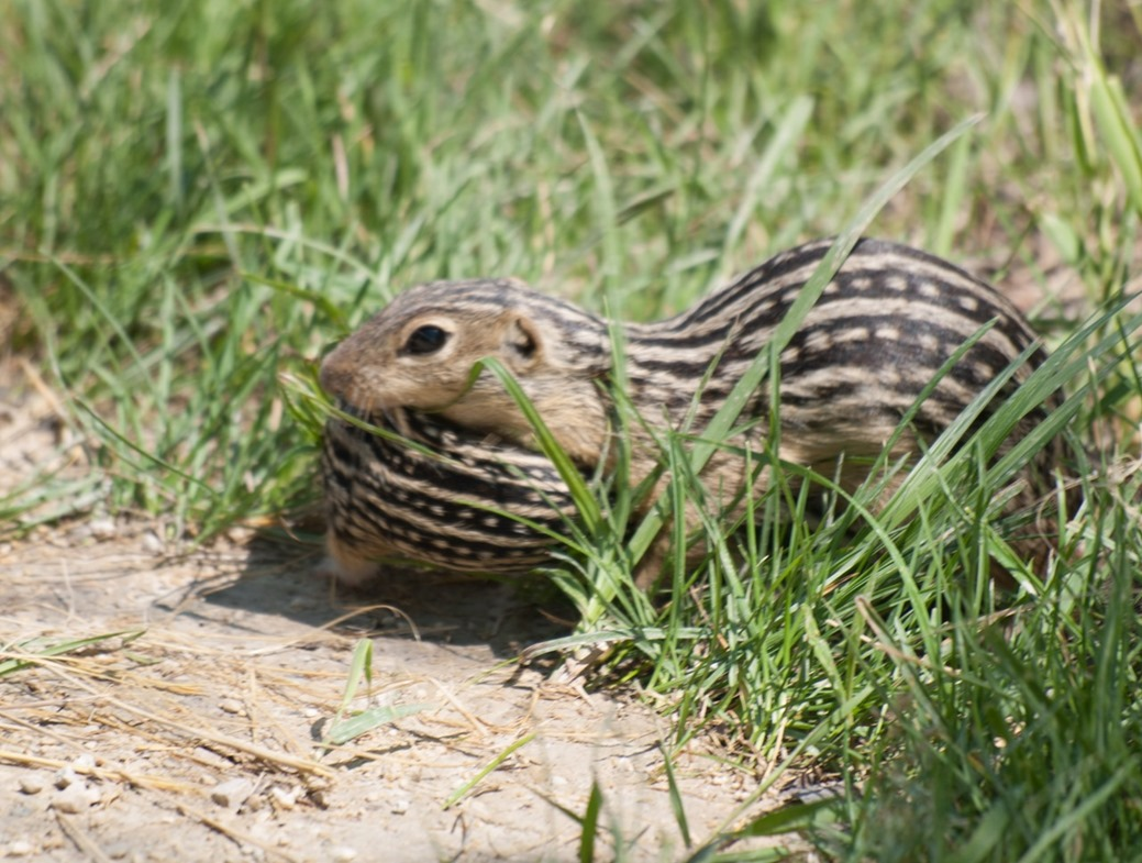 Thirteen-Lined Ground Squirrel Carrying its Young in it's Mouth