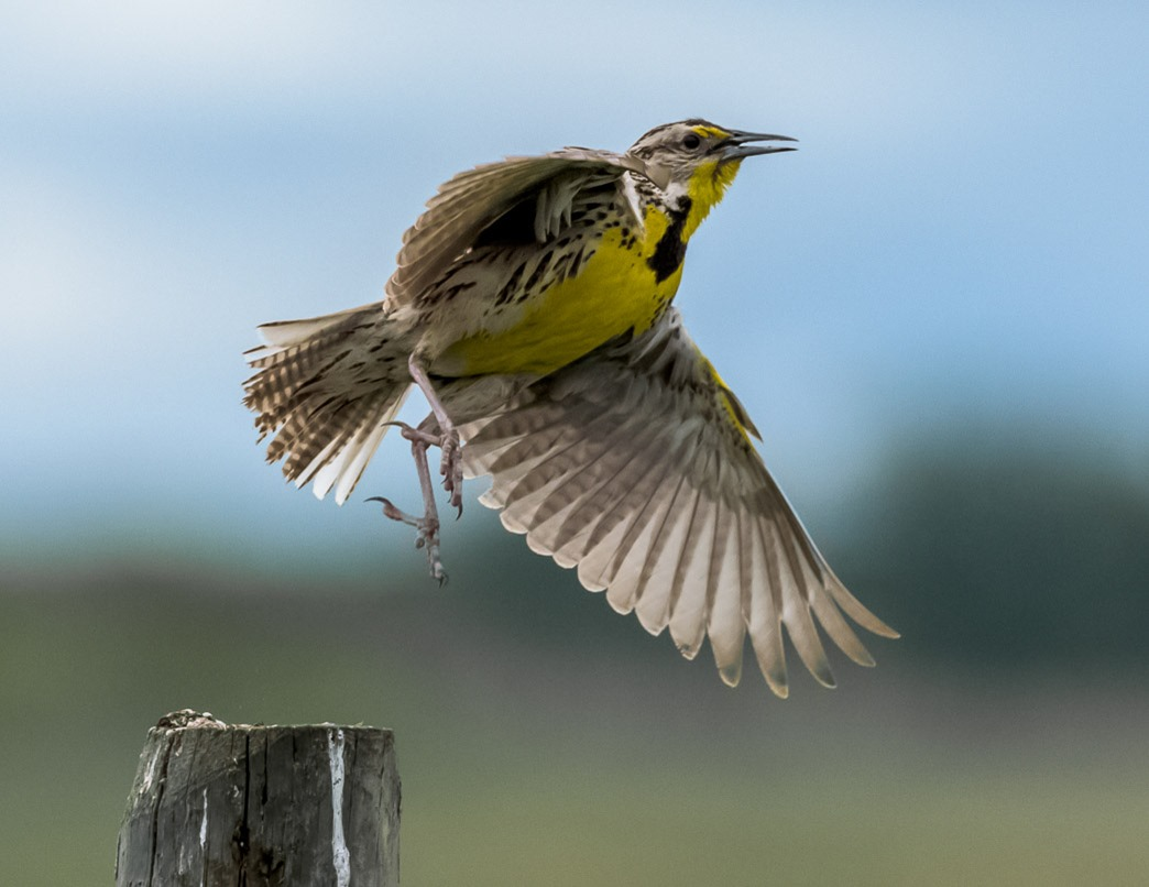 A Western Meadowlark wishing me a nice day as it takes off for a new adventure.