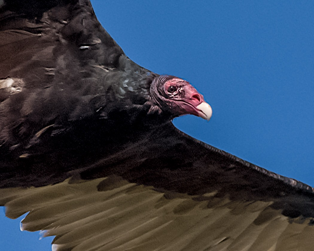 A Face only a Mother Could Love ~ Profile of a Turkey Vulture.