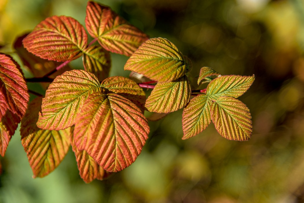 I am not sure of the exact species of this plant, but have been told it is a member of the Rose family, Rubus genus.  I just loved the texture and colours of the leaves and stem and think it adds so much beauty to the Fall.