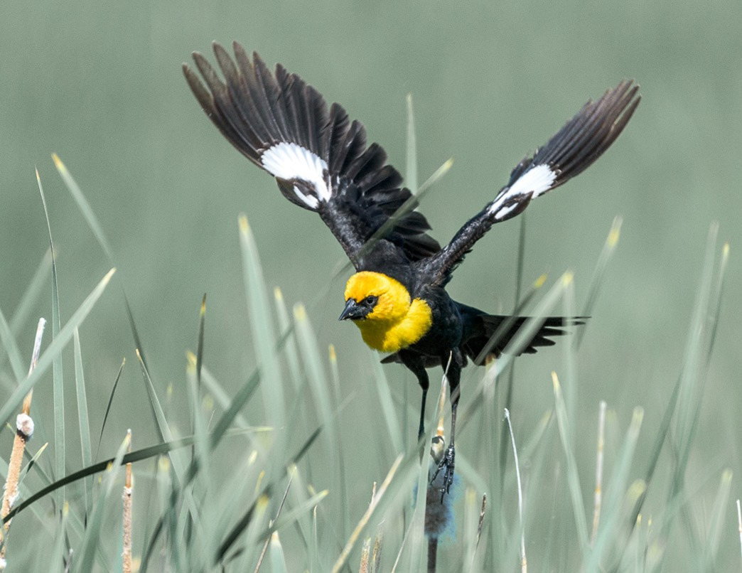 The Yellow-Headed Blackbird coming in for a landing, is commonly seen along the marshes of SW Manitoba